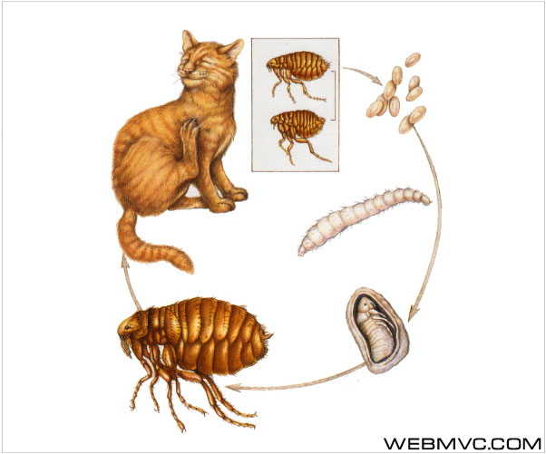 Блохи- временные паразиты.  Блохи (самки) откладывают