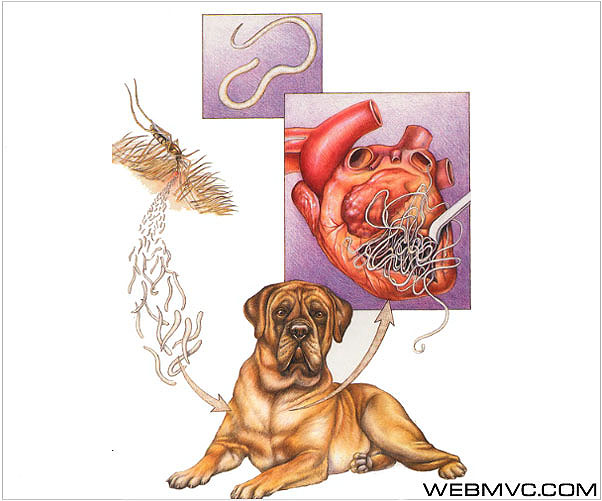 Дирофиляриозы собак (Dirofilarioses canum)