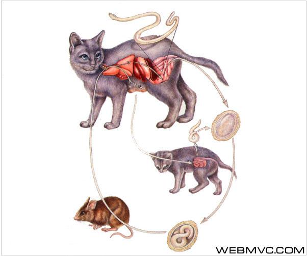 Токсокароз кошек (Toxocaros feline) .