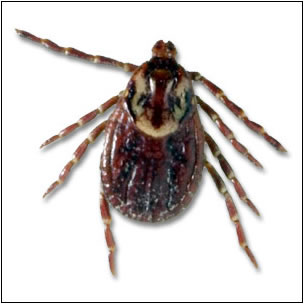 Dermacentor variabilis