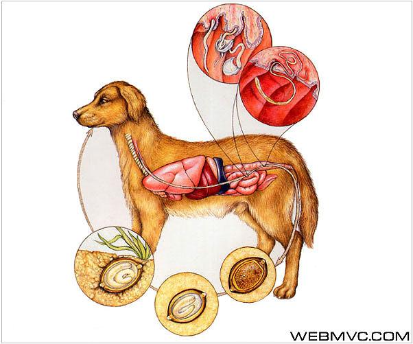 Трихоцефалез собак (Trichocephalosis canum)