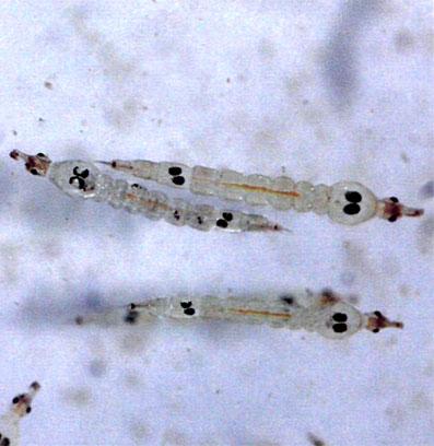 Белые личинки комаров (коретра)