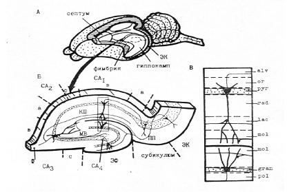 Морфология гиппокампа и его клеточных элементов