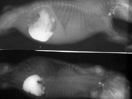 Рентгеновский снимок щенка 3 мес. при парвовирусном энтерите до проведения надплевральной блокады