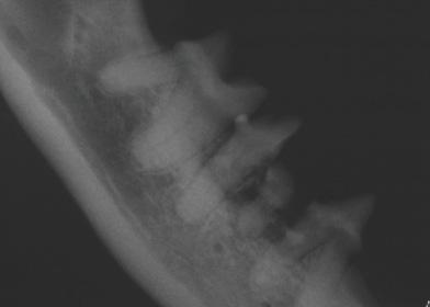 Нормальные периодонтальные связки и эндодонтическая система