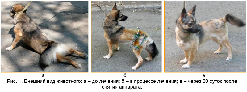 Лечение дисплозии тазобедренного сустава у собак картинка строение сустава